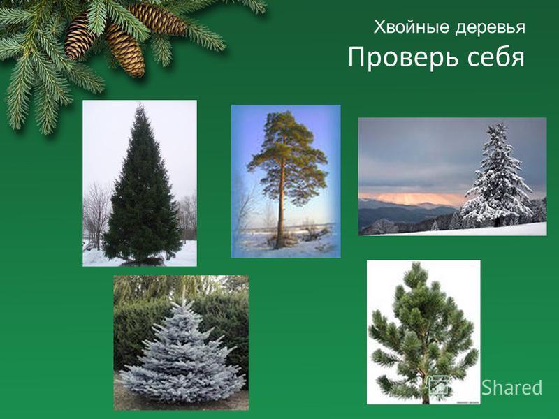 Хвойные деревья Проверь себя