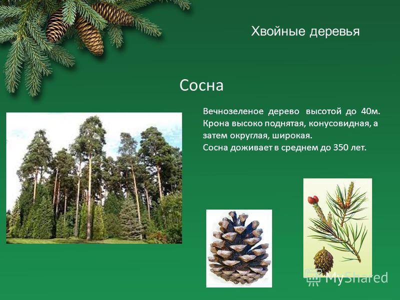 Сосна Вечнозеленое дерево высотой до 40 м. Крона высоко поднятая, конусовидная, а затем округлая, широкая. Сосна доживает в среднем до 350 лет.