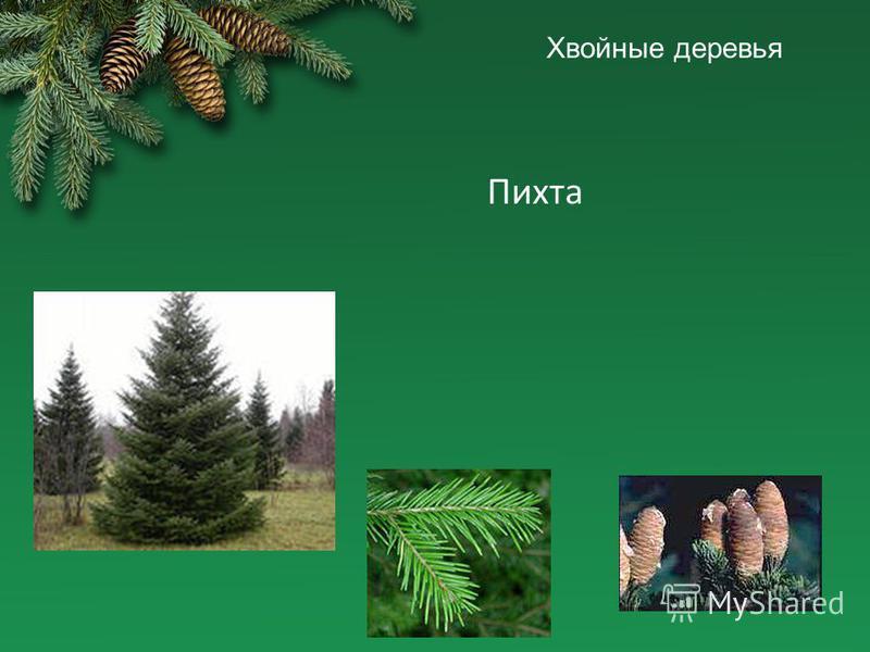 Хвойные деревья Пихта