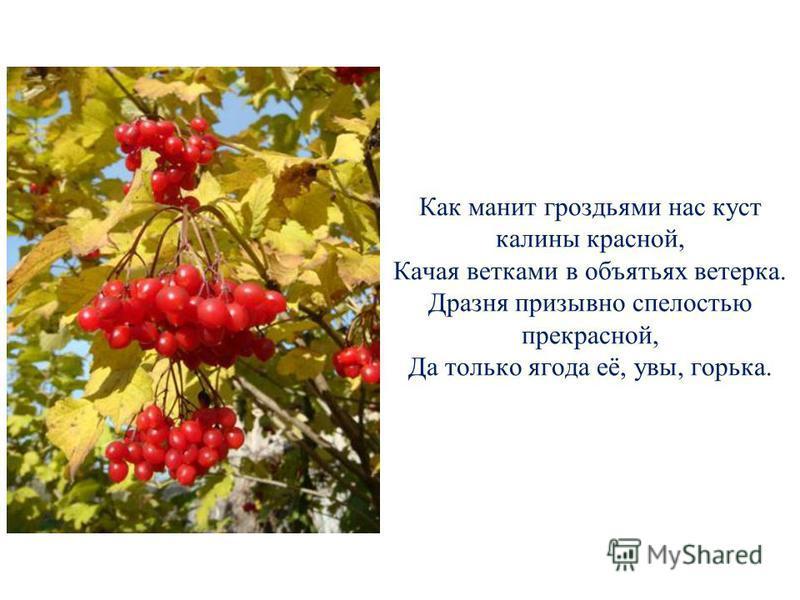Как манит гроздьями нас куст калины красной, Качая ветками в объятьях ветерка. Дразня призывно спелостью прекрасной, Да только ягода её, увы, горька.