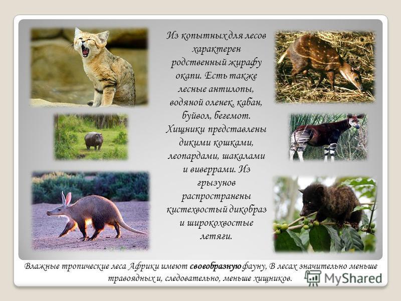 Из копытных для лесов характерен родственный жирафу окапи. Есть также лесные антилопы, водяной оленек, кабан, буйвол, бегемот. Хищники представлены дикими кошками, леопардами, шакалами и виверрами. Из грызунов распространены кистехвостый дикобраз и ш