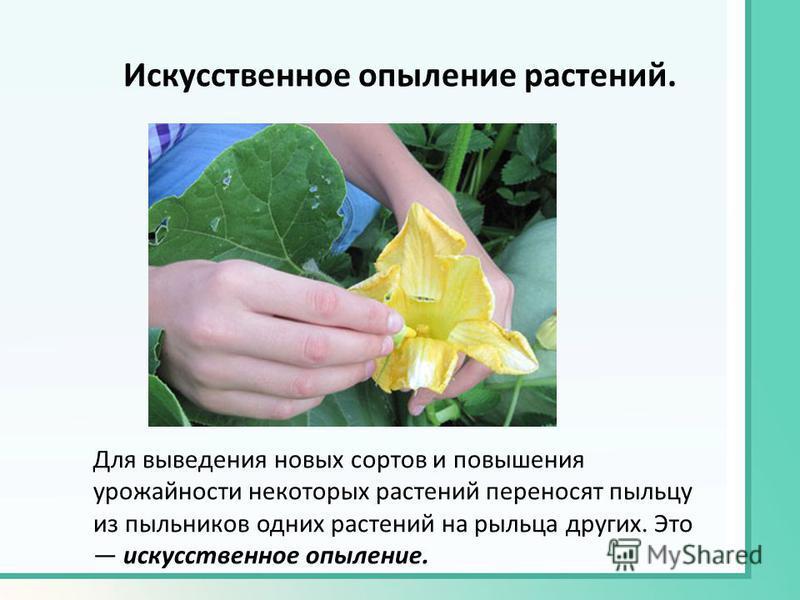 Искусственное опыление растений. Для выведения новых сортов и повышения урожайности некоторых растений переносят пыльцу из пыльников одних растений на рыльца других. Это искусственное опыление.