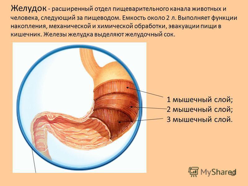 Желудок - расширенный отдел пищеварительного канала животных и человека, следующий за пищеводом. Емкость около 2 л. Выполняет функции накопления, механической и химической обработки, эвакуации пищи в кишечник. Железы желудка выделяют желудочный сок.