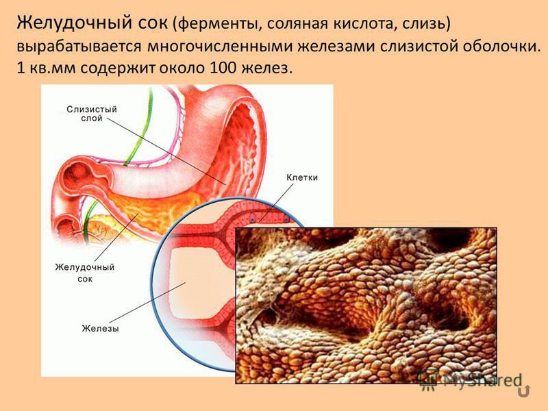 Желудочный сок (ферменты, соляная кислота, слизь) вырабатывается многочисленными железами слизистой оболочки. 1 кв.мм содержит около 100 желез.