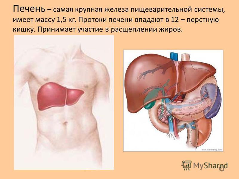 Печень – самая крупная железа пищеварительной системы, имеет массу 1,5 кг. Протоки печени впадают в 12 – перстную кишку. Принимает участие в расщеплении жиров.