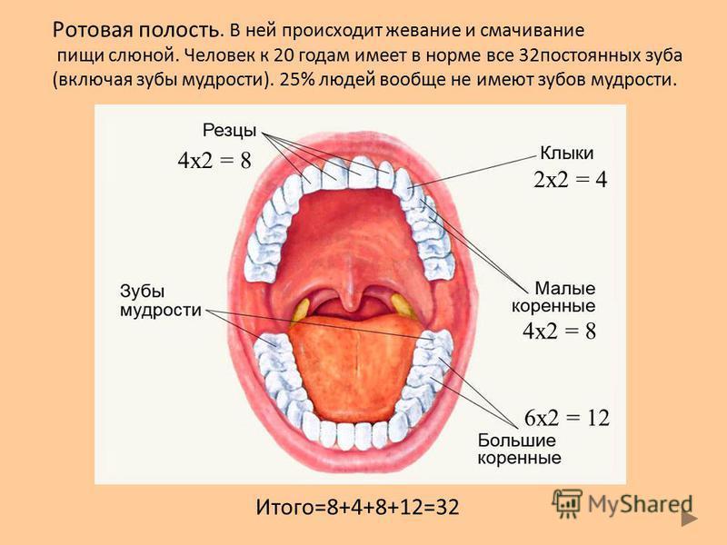 Итого=8+4+8+12=32 4x2 = 8 2x2 = 4 4x2 = 8 6x2 = 12 Ротовая полость. В ней происходит жевание и смачивание пищи слюной. Человек к 20 годам имеет в норме все 32 постоянных зуба (включая зубы мудрости). 25% людей вообще не имеют зубов мудрости.