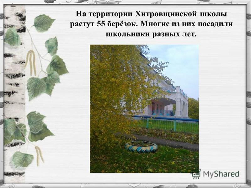 На территории Хитровщинской школы растут 55 берёзок. Многие из них посадили школьники разных лет.
