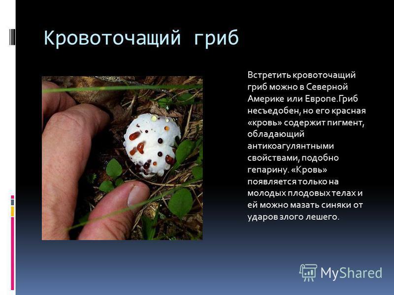 Кровоточащий гриб Встретить кровоточащий гриб можно в Северной Америке или Европе.Гриб несъедобен, но его красная «кровь» содержит пигмент, обладающий антикоагулянтными свойствами, подобно гепарину. «Кровь» появляется только на молодых плодовых телах