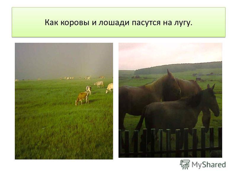 Как коровы и лошади пасутся на лугу.