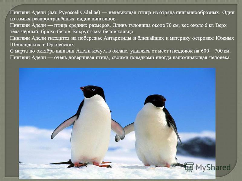 Пингвин Адели (лат. Pygoscelis adeliae) нелетающая птица из отряда пингвинообразных. Один из самых распространённых видов пингвинов. Пингвин Адели птица средних размеров. Длина туловища около 70 см, вес около 6 кг. Верх тела чёрный, брюхо белое. Вокр