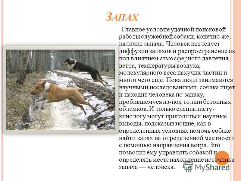 З АПАХ Главное условие удачной поисковой работы служебной собаки, конечно же, наличие запаха. Человек исследует диффузии запахов и распространение их под влиянием атмосферного давления, ветра, температуры воздуха, молекулярного веса пахучих частиц и