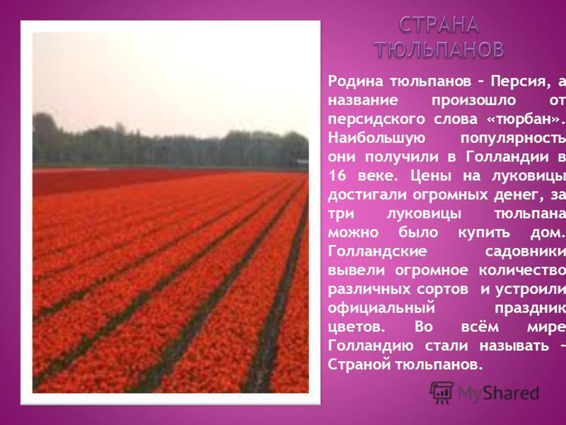 Родина тюльпанов – Персия, а название произошло от персидского слова «тюрбан». Наибольшую популярность они получили в Голландии в 16 веке. Цены на луковицы достигали огромных денег, за три луковицы тюльпана можно было купить дом. Голландские садовник