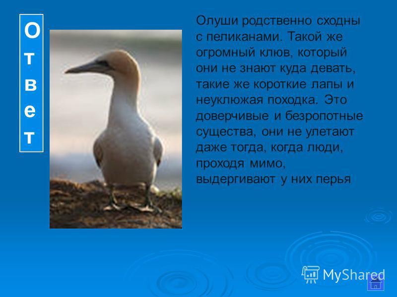 Ответ Ответ Олуши родственно сходны с пеликанами. Такой же огромный клюв, который они не знают куда девать, такие же короткие лапы и неуклюжая походка. Это доверчивые и безропотные существа, они не улетают даже тогда, когда люди, проходя мимо, выдерг