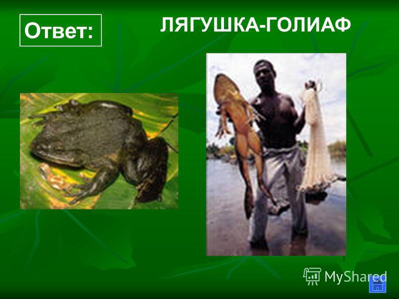 ЛЯГУШКА-ГОЛИАФ Ответ: