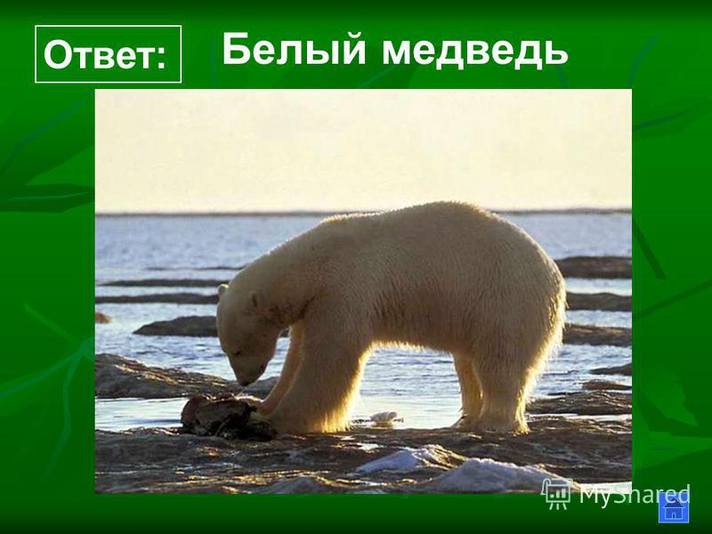 Белый медведь Ответ: