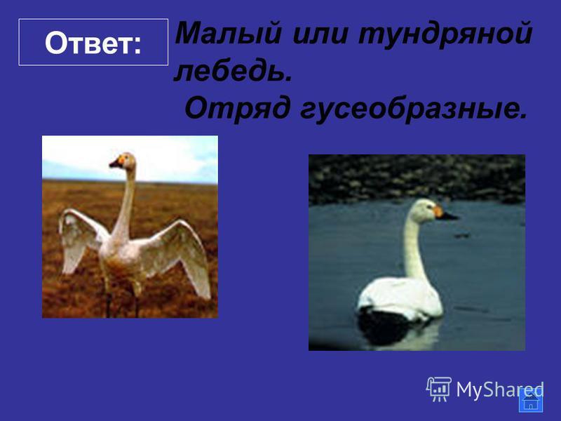 Ответ: Малый или тундряной лебедь. Отряд гусеобразные.