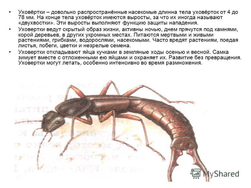Уховёртки – довольно распространённые насекомые длинна тела уховёрток от 4 до 78 мм. На конце тела уховёрток имеются выросты, за что их иногда называют «двухвостки». Эти выросты выполняют функцию защиты нападения. Уховертки ведут скрытый образ жизни,