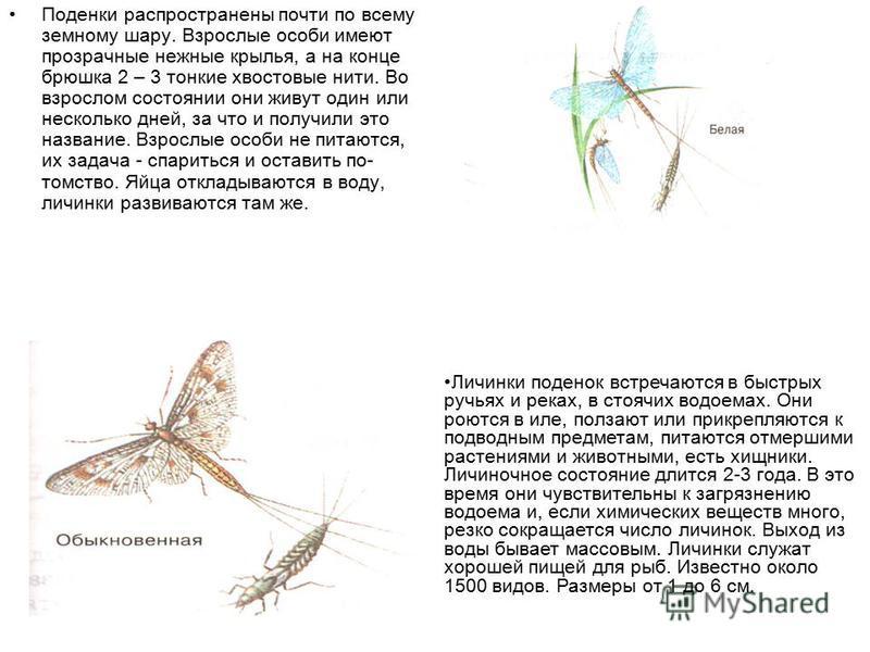 Поденки распространены почти по всему земному шару. Взрослые особи имеют прозрачные нежные крылья, а на конце брюшка 2 – 3 тонкие хвостовые нити. Во взрослом состоянии они живут один или несколько дней, за что и получили это название. Взрослые особи