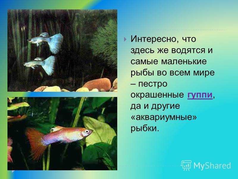 Интересно, что здесь же водятся и самые маленькие рыбы во всем мире – пестро окрашенные гуппи, да и другие «аквариумные» рыбки.