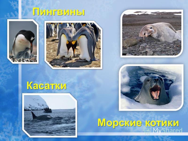 Касатки Пингвины Морские котики