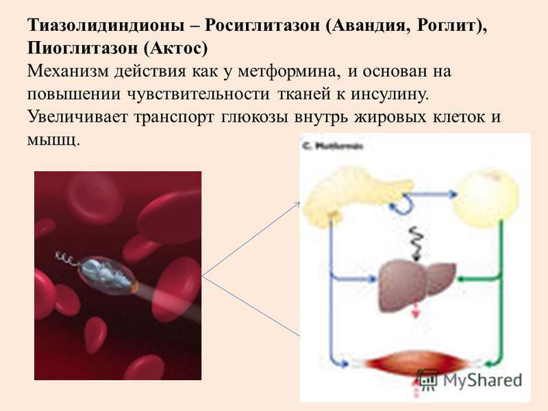 Тиазолидиндионы – Росиглитазон (Авандия, Роглит), Пиоглитазон (Актос) Механизм действия как у метформина, и основан на повышении чувствительности тканей к инсулину. Увеличивает транспорт глюкозы внутрь жировых клеток и мышц.