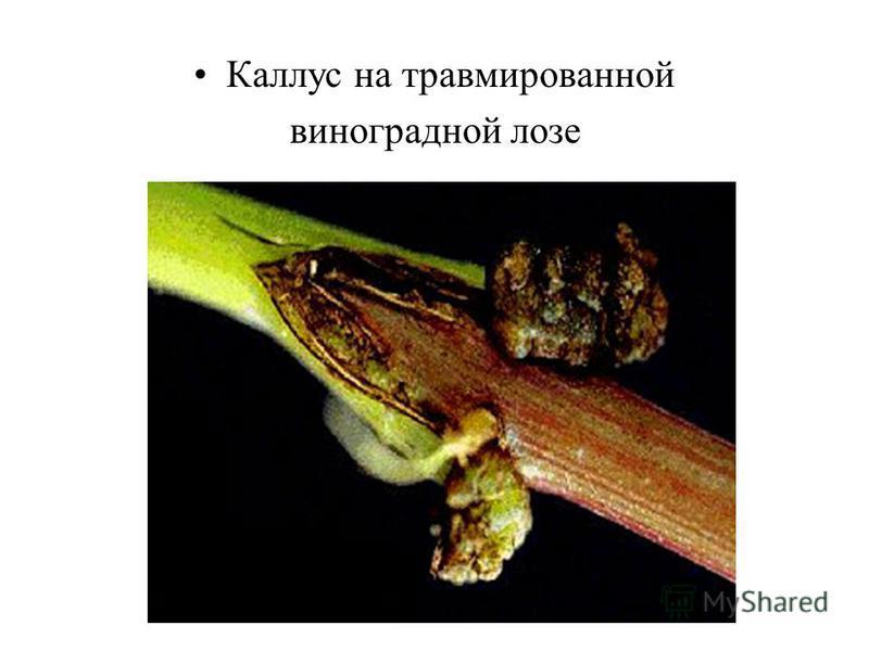 Каллус на травмированной виноградной лозе