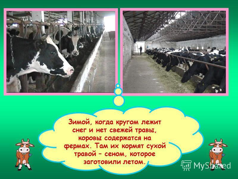 Зимой, когда кругом лежит снег и нет свежей травы, коровы содержатся на фермах. Там их кормят сухой травой – сеном, которое заготовили летом.