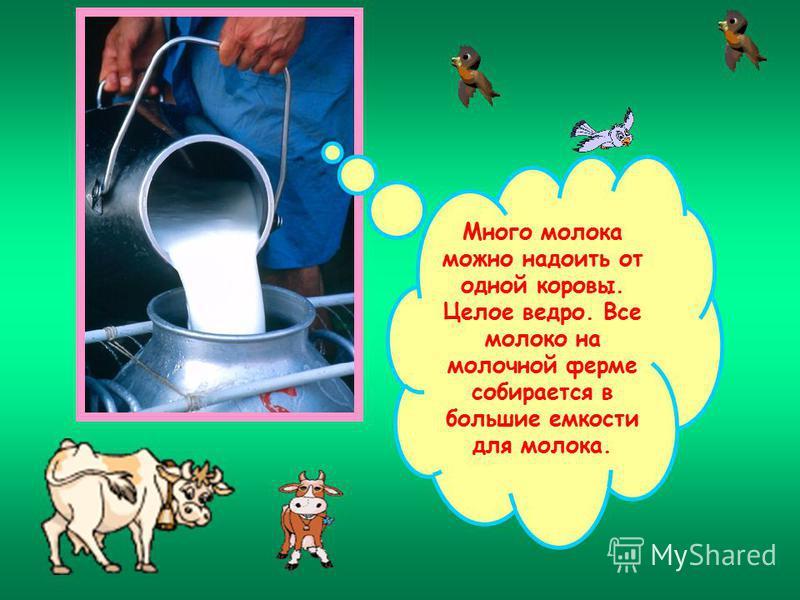 Много молока можно надоить от одной коровы. Целое ведро. Все молоко на молочной ферме собирается в большие емкости для молока.