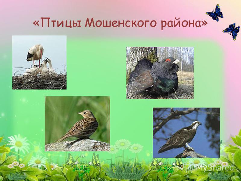 «Птицы Мошенского района»