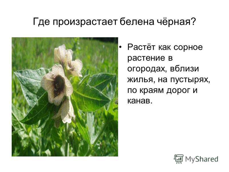 Где произрастает белена чёрная? Растёт как сорное растение в огородах, вблизи жилья, на пустырях, по краям дорог и канав.