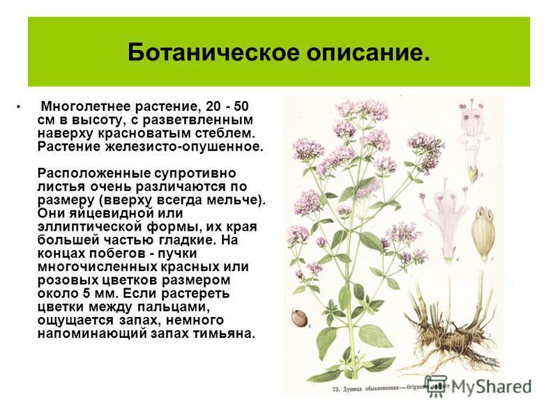 Ботаническое описание. Многолетнее растение, 20 - 50 см в высоту, с разветвленным наверху красноватым стеблем. Растение железисто-опушенное. Расположенные супротивно листья очень различаются по размеру (вверху всегда мельче). Они яйцевидной или эллип