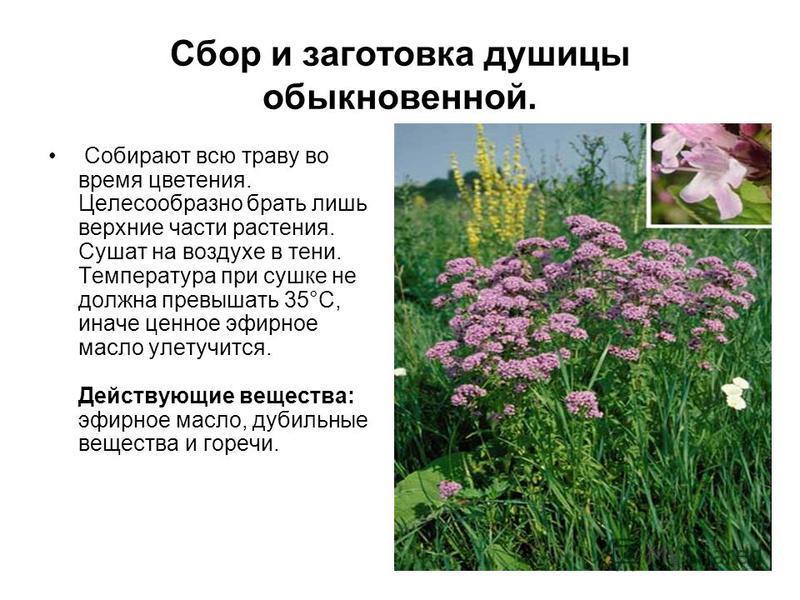 Сбор и заготовка душицы обыкновенной. Собирают всю траву во время цветения. Целесообразно брать лишь верхние части растения. Сушат на воздухе в тени. Температура при сушке не должна превышать 35°С, иначе ценное эфирное масло улетучится. Действующие в