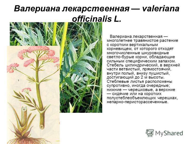 Валериана лекарственная valeriana officinalis L. Валериана лекарственная многолетнее травянистое растение с коротким вертикальным корневищем, от которого отходят многочисленные шнуровидные светло-бурые корни, обладающие сильным специфическим запахом.