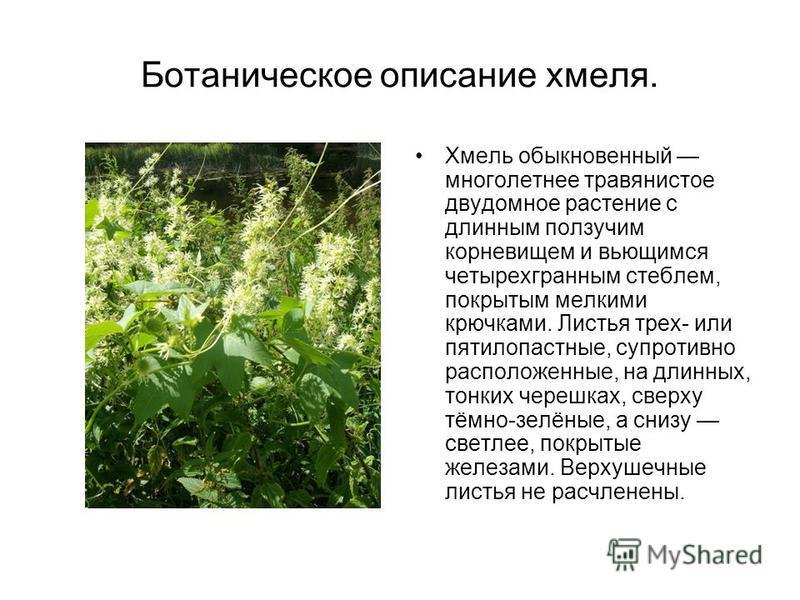 Ботаническое описание хмеля. Хмель обыкновенный многолетнее травянистое двудомное растение с длинным ползучим корневищем и вьющимся четырехгранным стеблем, покрытым мелкими крючками. Листья трех- или пятилопастные, супротивно расположенные, на длинны
