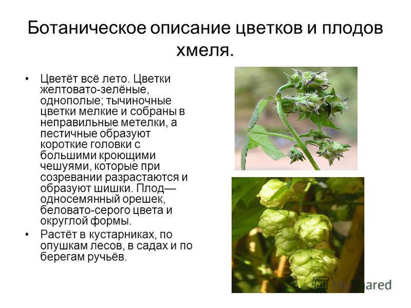 Ботаническое описание цветков и плодов хмеля. Цветёт всё лето. Цветки желтовато-зелёные, однополые; тычиночные цветки мелкие и собраны в неправильные метелки, а пестичные образуют короткие головки с большими кроющими чешуями, которые при созревании р