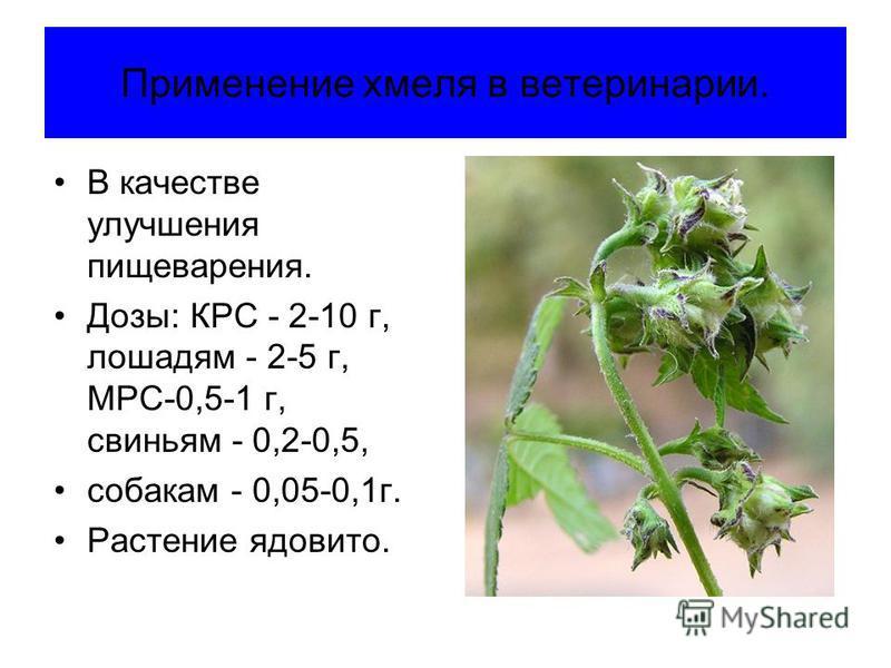 Применение хмеля в ветеринарии. В качестве улучшения пищеварения. Дозы: КРС - 2-10 г, лошадям - 2-5 г, МРС-0,5-1 г, свиньям - 0,2-0,5, собакам - 0,05-0,1 г. Растение ядовито.