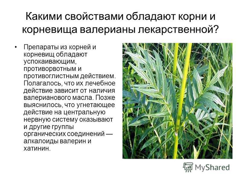 Какими свойствами обладают корни и корневища валерианы лекарственной? Препараты из корней и корневищ обладают успокаивающим, противорвотным и противоглистным действием. Полагалось, что их лечебное действие зависит от наличия валерианового масла. Позж