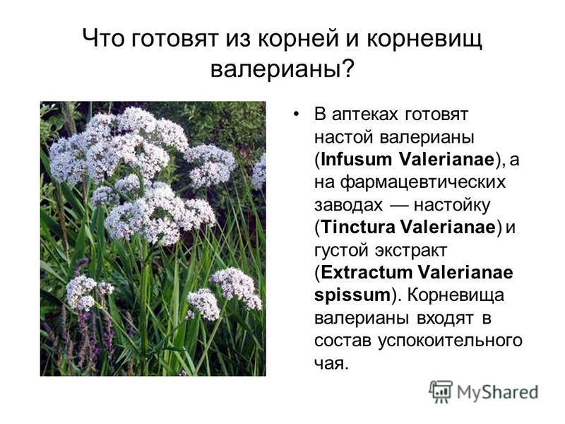 Что готовят из корней и корневищ валерианы? В аптеках готовят настой валерианы (Infusum Valerianae), а на фармацевтических заводах настойку (Tinctura Valerianae) и густой экстракт (Extractum Valerianae spissum). Корневища валерианы входят в состав ус