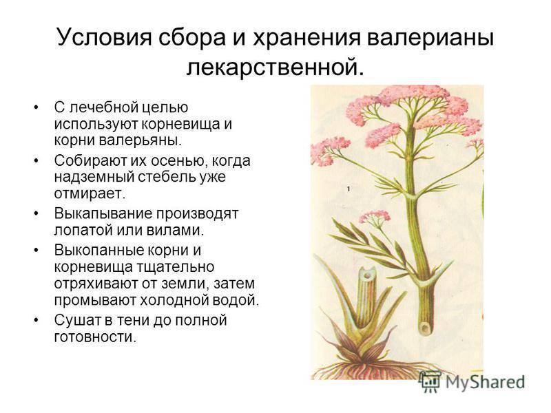 Условия сбора и хранения валерианы лекарственной. С лечебной целью используют корневища и корни валерьяны. Собирают их осенью, когда надземный стебель уже отмирает. Выкапывание производят лопатой или вилами. Выкопанные корни и корневища тщательно отр