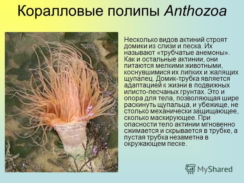 Коралловые полипы Anthozoa Актинии - это одиночные или колониальные коралловые полипы, лишенные скелета и достигающие порой весьма крупных размеров. Актинии часто живут в симбиозе с рыбой-клоуном. Актинии распространены в морях от Арктики до Антаркти