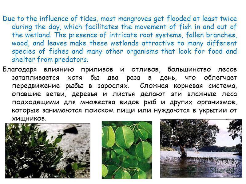 Для активного роста мангровых лесов необходимы следующие условия: достаточная освещенность; минимальное воздействие волн; отсутствие заморозков; наличие шельфовых вод; определенная температура воды, тип почвы и уровень солености – различны для множес