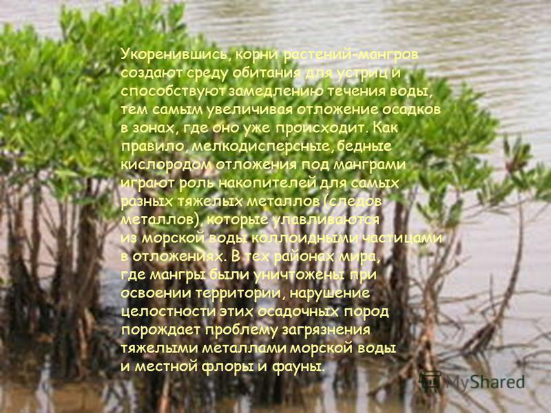 Различия мангровых лесов, находящихся на морских побережьях вне устья рек, во многом зависят от того, где развиваются эти леса - в богатых осадками (гумидных) или бедных ими (аридных) районах. Если в гумидных районах незатопляемые во время приливов п