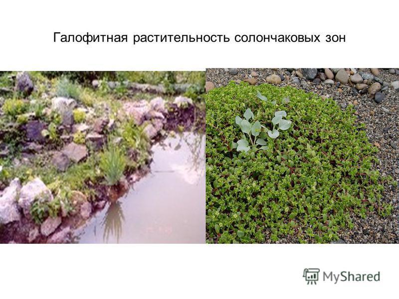 Солончаковая растительность Всюду, гдерастительность почва богата солью, появляется весьма своеобразная растительность, состоящая из представителей небольшого числа семейств (Chenopodiaceae, Aizoaceae, Plumbaginaceae, Portulacaceae, Tamaricaceae, Fra