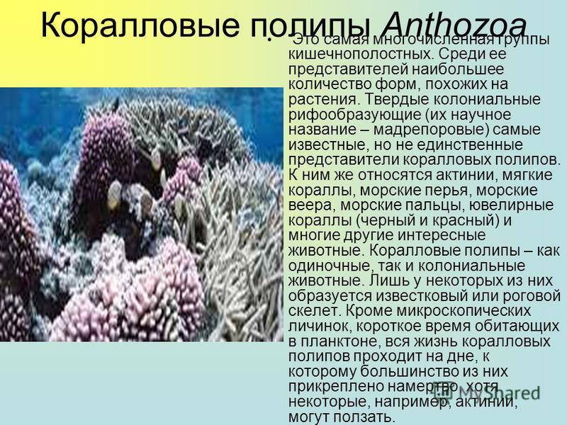 По одной из версий название «коралл» происходит от греческого слова, обозначающего крюк, с помощью которого ныряльщики добывали кораллы с большой глубины.