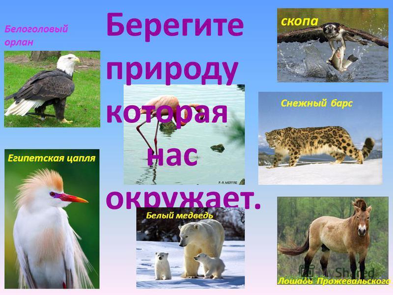 Берегите природу которая нас окружает. Белоголовый орлан Египетская цапля скопа Снежный барс Лошадь Прожевальского Белый медведь