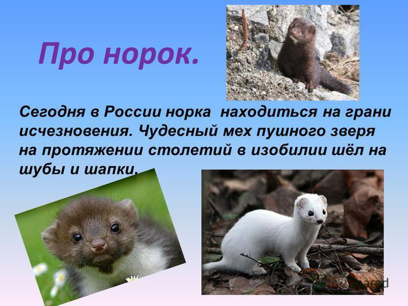 Про норок. Сегодня в России норка находиться на грани исчезновения. Чудесный мех пушного зверя на протяжении столетий в изобилии шёл на шубы и шапки.