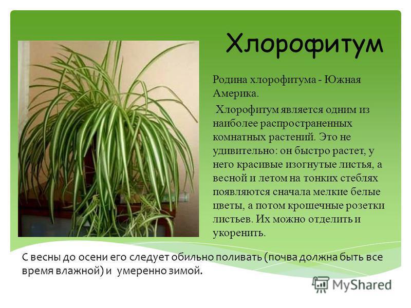 Родина хлорофитума - Южная Америка. Хлорофитум является одним из наиболее распространенных комнатных растений. Это не удивительно: он быстро растет, у него красивые изогнутые листья, а весной и летом на тонких стеблях появляются сначала мелкие белые