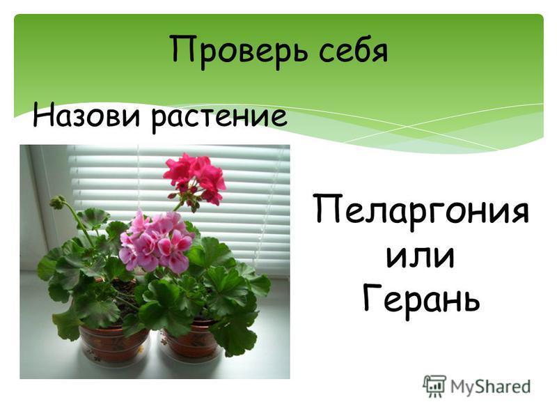 Проверь себя Назови растение Пеларгония или Герань