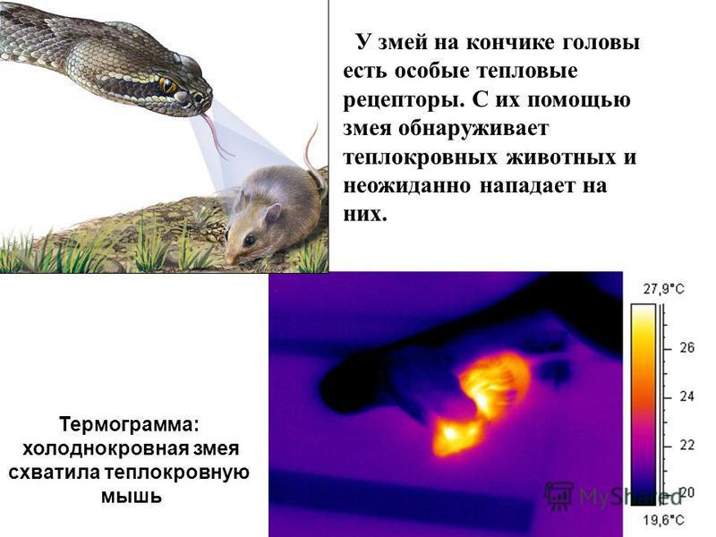 Термограмма: холоднокровная змея схватила теплокровную мышь У змей на кончике головы есть особые тепловые рецепторы. С их помощью змея обнаруживает теплокровных животных и неожиданно нападает на них.