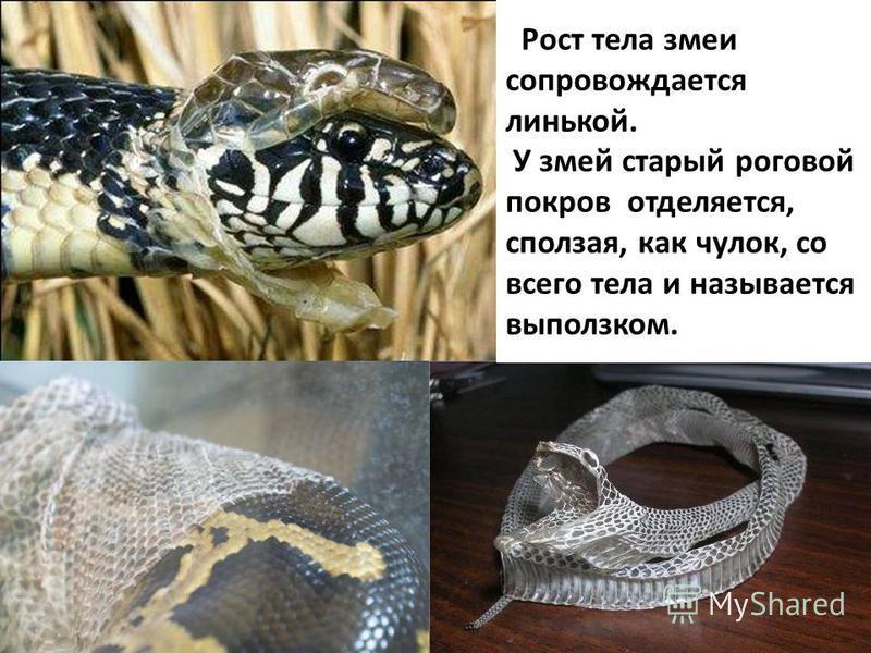 Рост тела змеи сопровождается линькой. У змей старый роговой покров отделяется, сползая, как чулок, со всего тела и называется выползком.